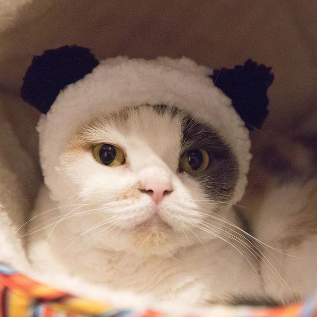 ユキパンダ。なりきり中。 猫柳ぶろぐ http://nekoyanagi.net #ねこくまちゃん
