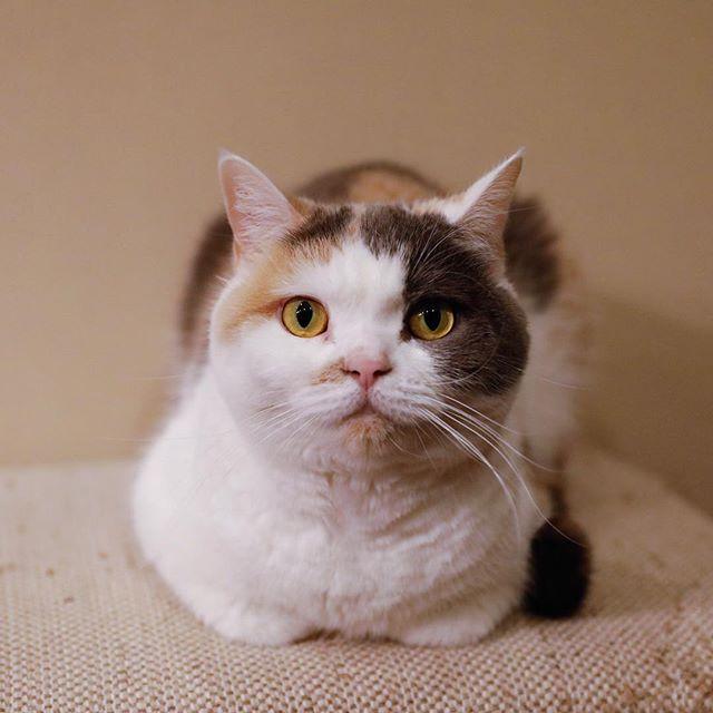 香箱ユキ。 猫柳ぶろぐ http://nekoyanagi.net