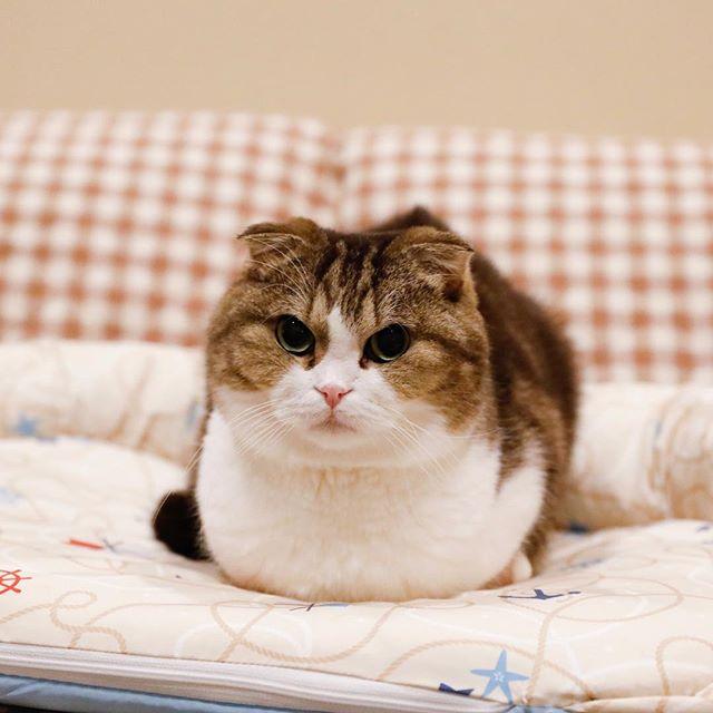 香箱ヤナ。 猫柳ぶろぐ http://nekoyanagi.net